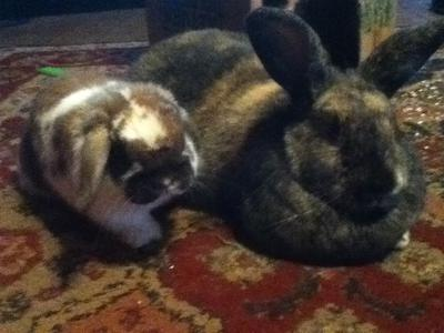 My holland lop and jetter