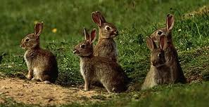 Wild rabbits seldom live longer than a year and graze close to their