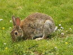 Wild rabbits seldom live longer than a year and graze close