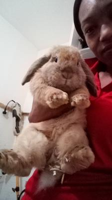 Believed to be holland lop