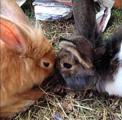 Norman and Mia, lion head rabbits <3
